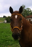 Reithalfter Warmblut - curry o. curry/schwarz